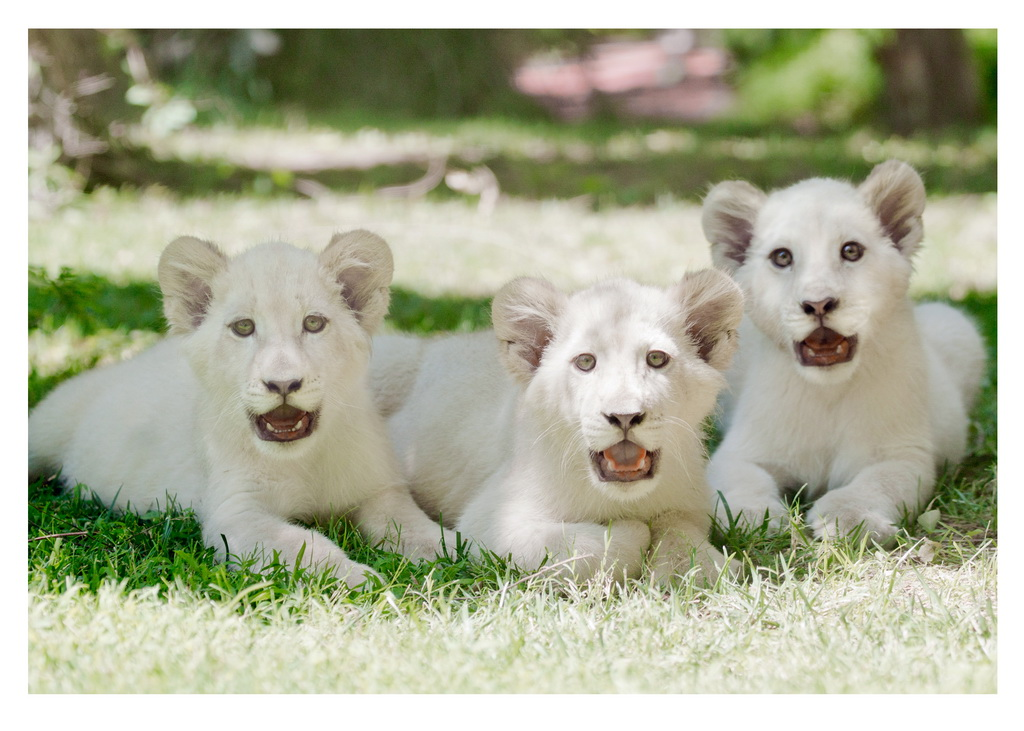 Madiba (L), Freedom (C) and Timba-Masai (R), at Siegfried & Roy's Secret Garden